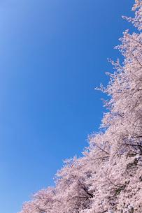 桜に青空の写真素材 [FYI03171039]