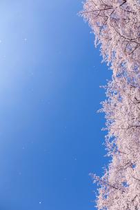 桜に青空 風に舞う花びらの写真素材 [FYI03171040]