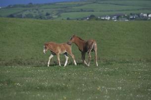 戯れる馬2頭の写真素材 [FYI03171169]