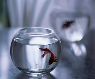 ガラスの中の熱帯魚の写真素材 [FYI03171235]