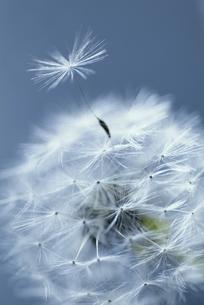 タンポポの綿毛の写真素材 [FYI03171269]