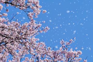 桜吹雪の写真素材 [FYI03171329]