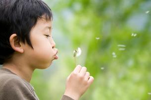 タンポポの綿毛を吹く5歳児の写真素材 [FYI03171622]