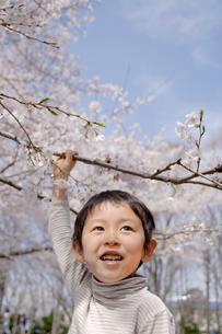 桜の枝を掴む男の子の写真素材 [FYI03171638]