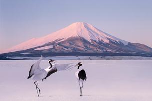 富士山と丹頂鶴の写真素材 [FYI03171675]