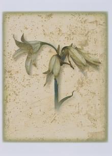 植物 ベラドンナ(白色)のイラスト素材 [FYI03172004]