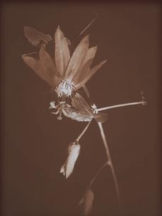 しおれる花の写真素材 [FYI03172010]