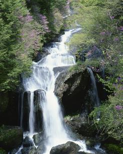 トウゴクミツバツツジ咲く龍頭の滝の写真素材 [FYI03172357]