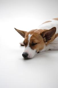 寝そべる犬の写真素材 [FYI03172402]