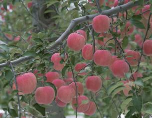 たわわに実ったリンゴ(フジ) 岩木町 青森の写真素材 [FYI03172486]