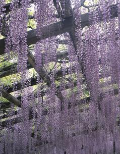 夏の藤棚の写真素材 [FYI03172585]