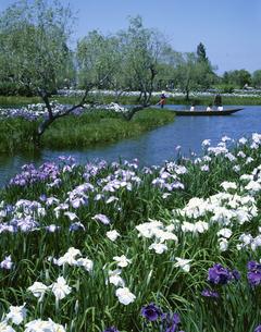 アヤメ咲く水生植物園   佐原市 千葉の写真素材 [FYI03172667]