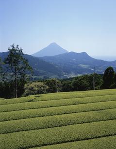 開聞岳と茶畑の写真素材 [FYI03173055]