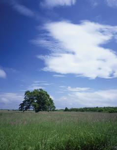 ハルニレの木と青空の写真素材 [FYI03173144]