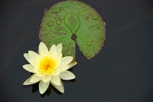 雨の中に咲く薄い黄色の睡蓮の写真素材 [FYI03173166]