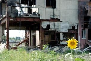 津波被害に遭った建物とヒマワリの写真素材 [FYI03173450]