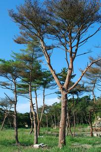 津波に耐えて残った松の樹の写真素材 [FYI03173468]