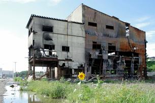 津波被害に遭った建物とヒマワリの写真素材 [FYI03173478]