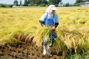 稲刈り工程の写真素材 [FYI03173537]
