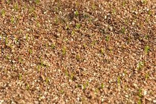 植えてから2週間後のネギの苗の写真素材 [FYI03173641]