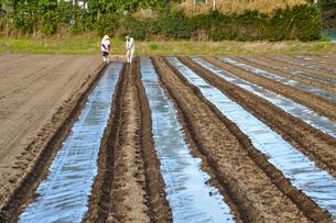 トウモロコシ畑・マルチシート張り作業の写真素材 [FYI03173662]
