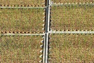 植えてから1ヶ月後のネギの苗の写真素材 [FYI03173665]