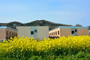 復興の菜の花道と仮設住宅の写真素材 [FYI03173825]