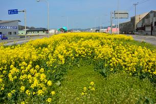 県道240号のグリーンベルトに植えられた菜の花の写真素材 [FYI03173833]