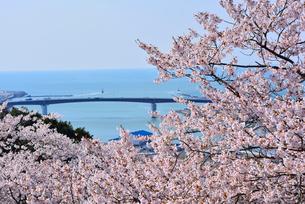 日和山公園の桜と日和大橋の写真素材 [FYI03174290]