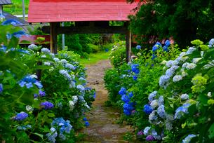 山形 出塩文殊堂の紫陽花の写真素材 [FYI03174757]