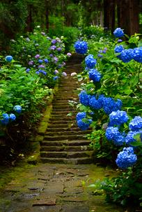 山形 出塩文殊堂の紫陽花の写真素材 [FYI03174869]