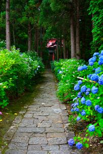 山形 出塩文殊堂の紫陽花の写真素材 [FYI03174875]
