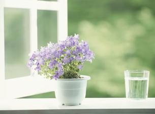 窓辺に置いた鉢植えの花(紫)の写真素材 [FYI03175193]