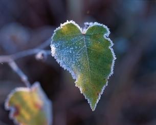 霜と葉の写真素材 [FYI03175320]