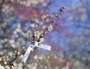 白梅の花と枝にまいたおみくじの写真素材 [FYI03175345]