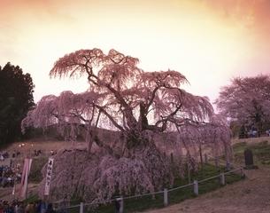 滝桜と夕景  三春町 福島県の写真素材 [FYI03175425]