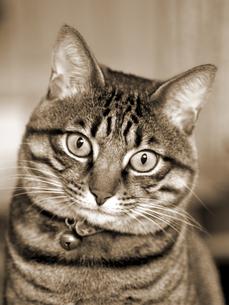 見つめる猫の写真素材 [FYI03175824]