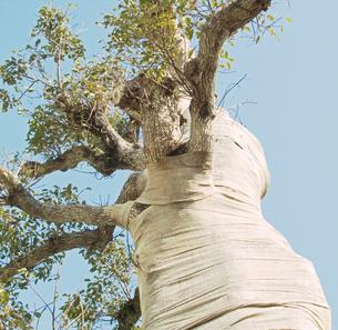 養生の布を巻かれた大きな楠の木の写真素材 [FYI03176368]