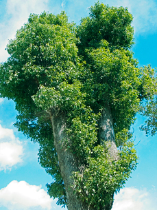 青空と白い雲を背景にした楠の巨木の写真素材 [FYI03176377]