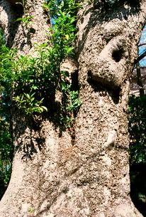 大きなタブの木の写真素材 [FYI03176387]