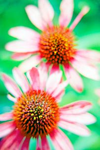 エキナケアの二輪の花の写真素材 [FYI03176462]