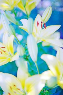 百合の花の写真素材 [FYI03176464]
