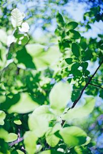 朝日に透けるモクレンの葉の写真素材 [FYI03176488]
