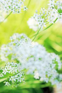 トリテリアの花の写真素材 [FYI03176496]