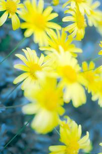 ユリオプス・デイジーの花の写真素材 [FYI03176580]