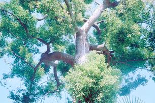 カシの木の大木の写真素材 [FYI03176660]