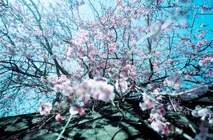 高い塀から垂れ下がる満開の垂れ桜の写真素材 [FYI03176668]