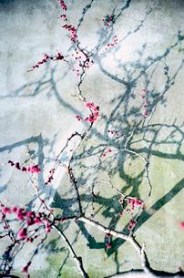モルタル側壁に沿って咲く梅と影の写真素材 [FYI03176676]