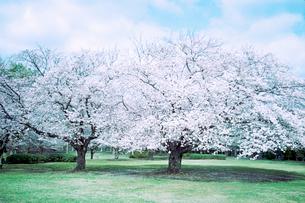 城址公園の大きな二本の桜の木の写真素材 [FYI03176691]