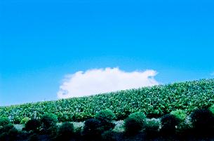 緑の生け垣に乗る白雲と青空の写真素材 [FYI03176799]